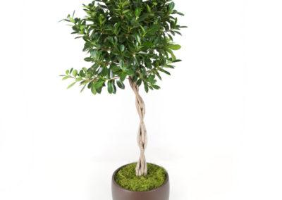 Ficus Green Island Braid-