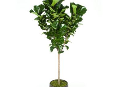 Ficus Little Fiddle